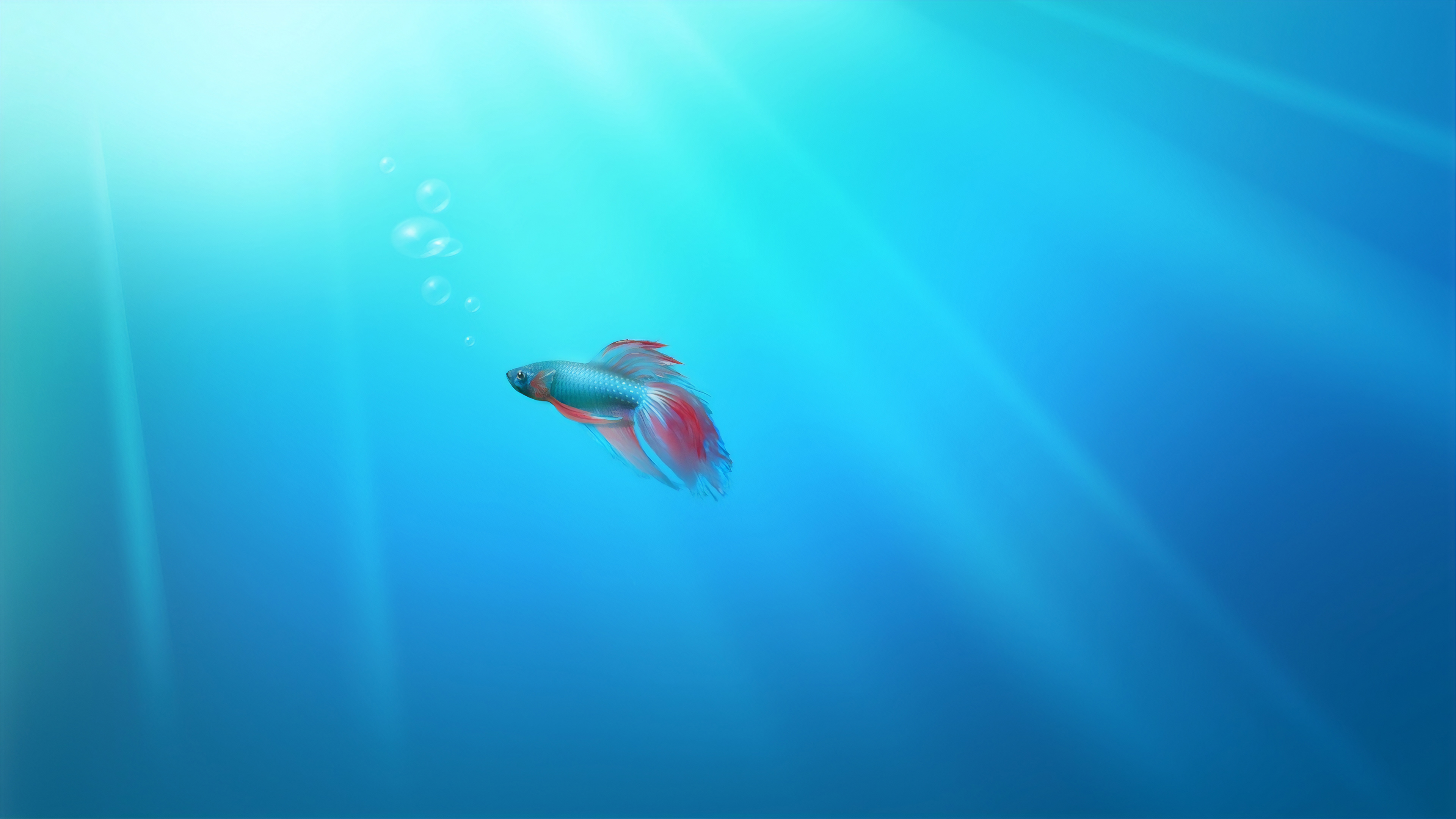 siamese fish 1574938088 - Siamese Fish -