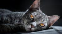 siberian cat 1574937991 200x110 - Siberian Cat -