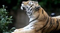 siberian tiger 1574938014 200x110 - Siberian Tiger -