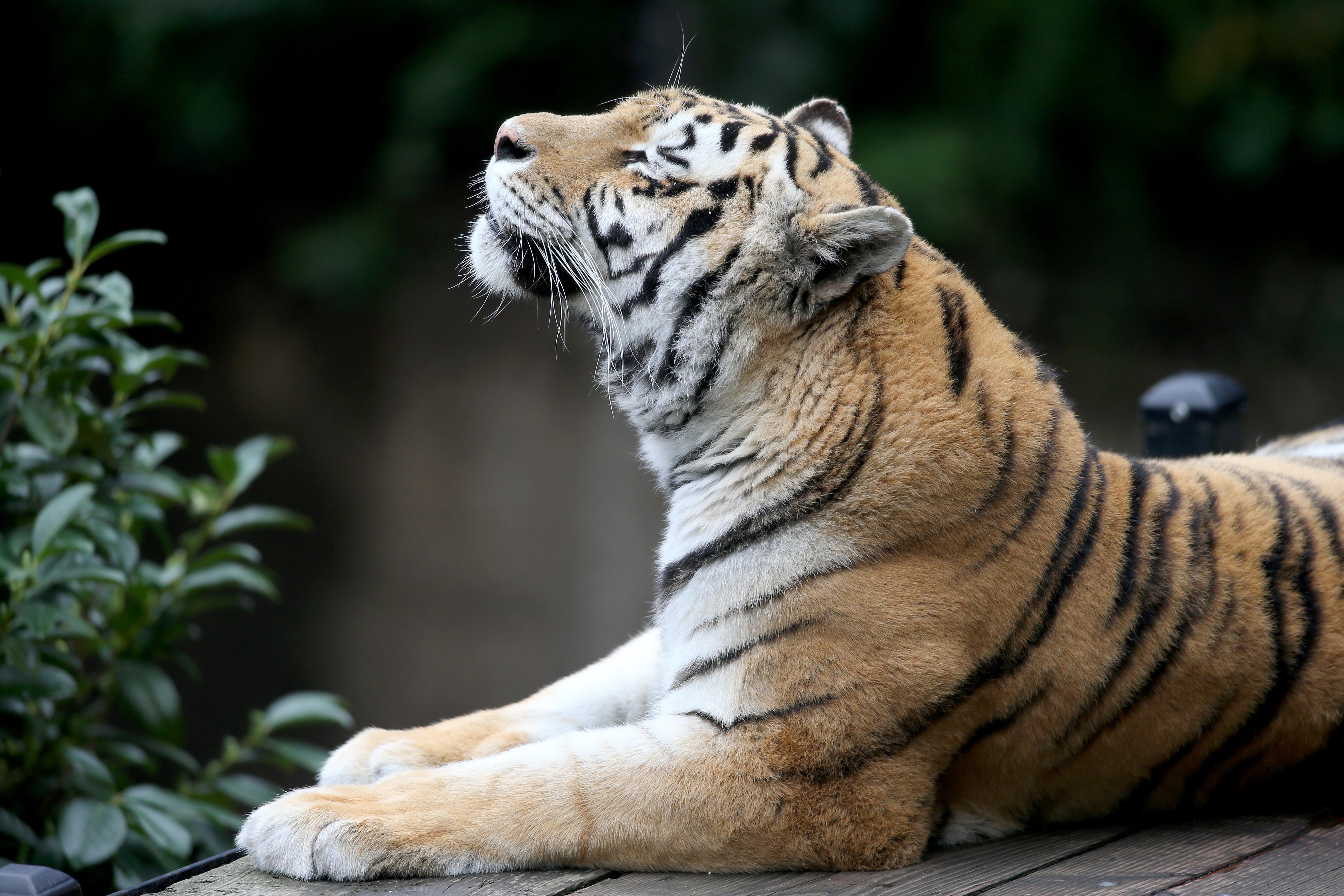 siberian tiger 1574938014 - Siberian Tiger -