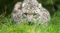 snow leopard glance 1574938188 200x110 - Snow Leopard Glance -