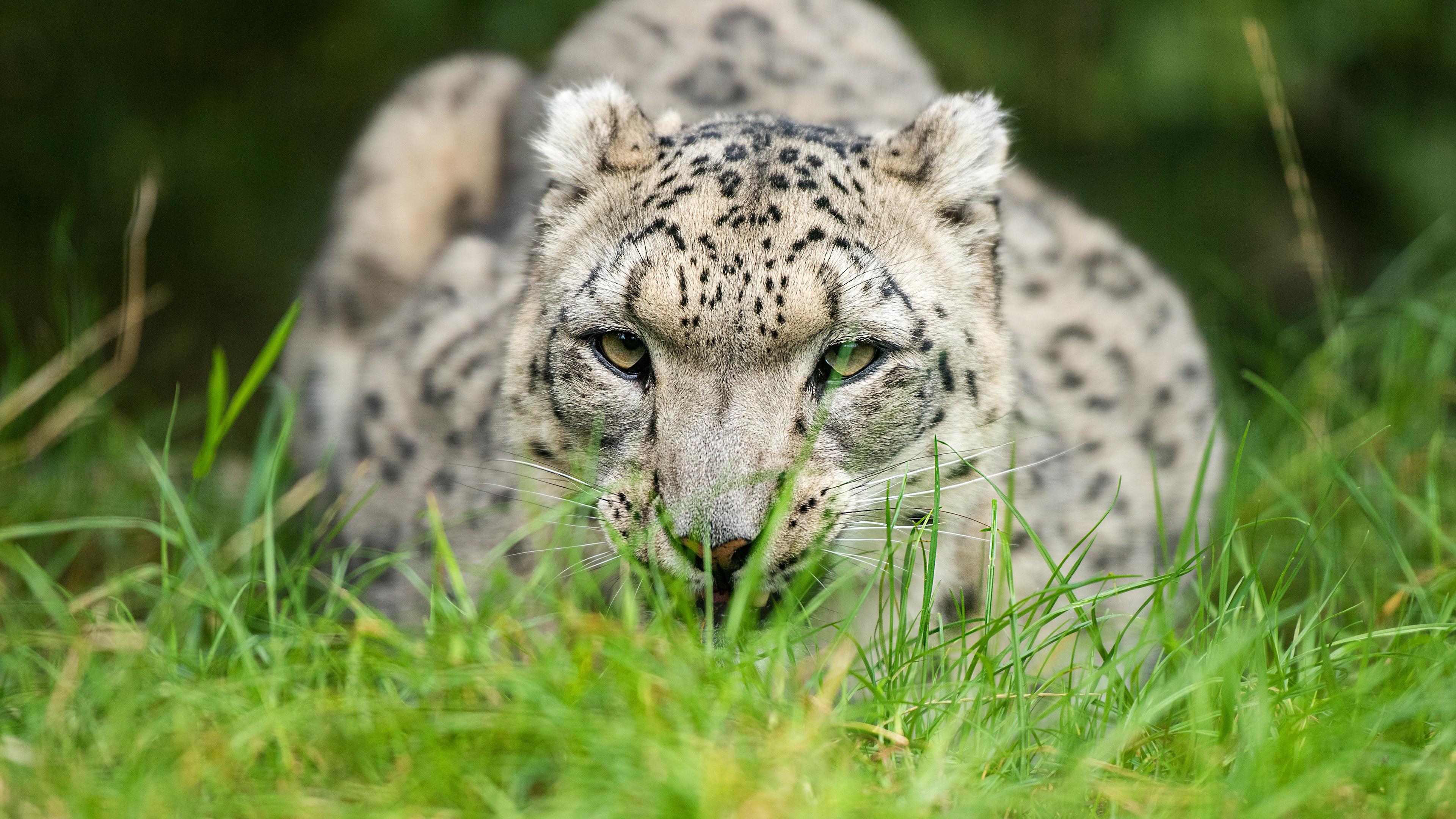 snow leopard glance 1574938188 - Snow Leopard Glance -