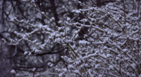 snowy branches 1574939581 200x110 - Snowy Branches -