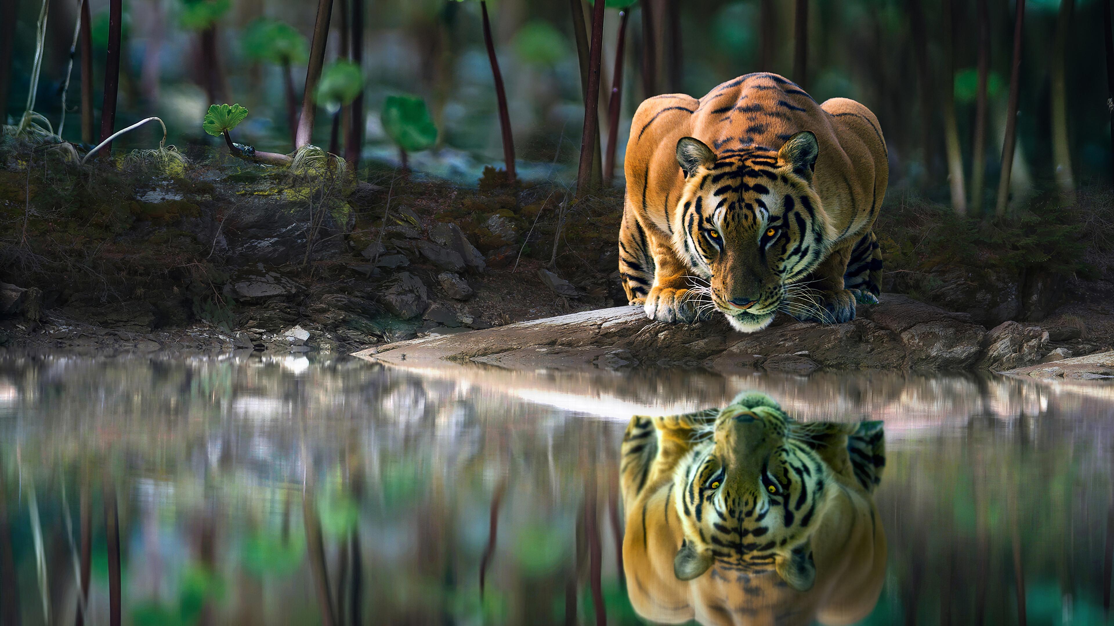 tiger glowing eyes drinking water 1574938182 - Tiger Glowing Eyes Drinking Water -