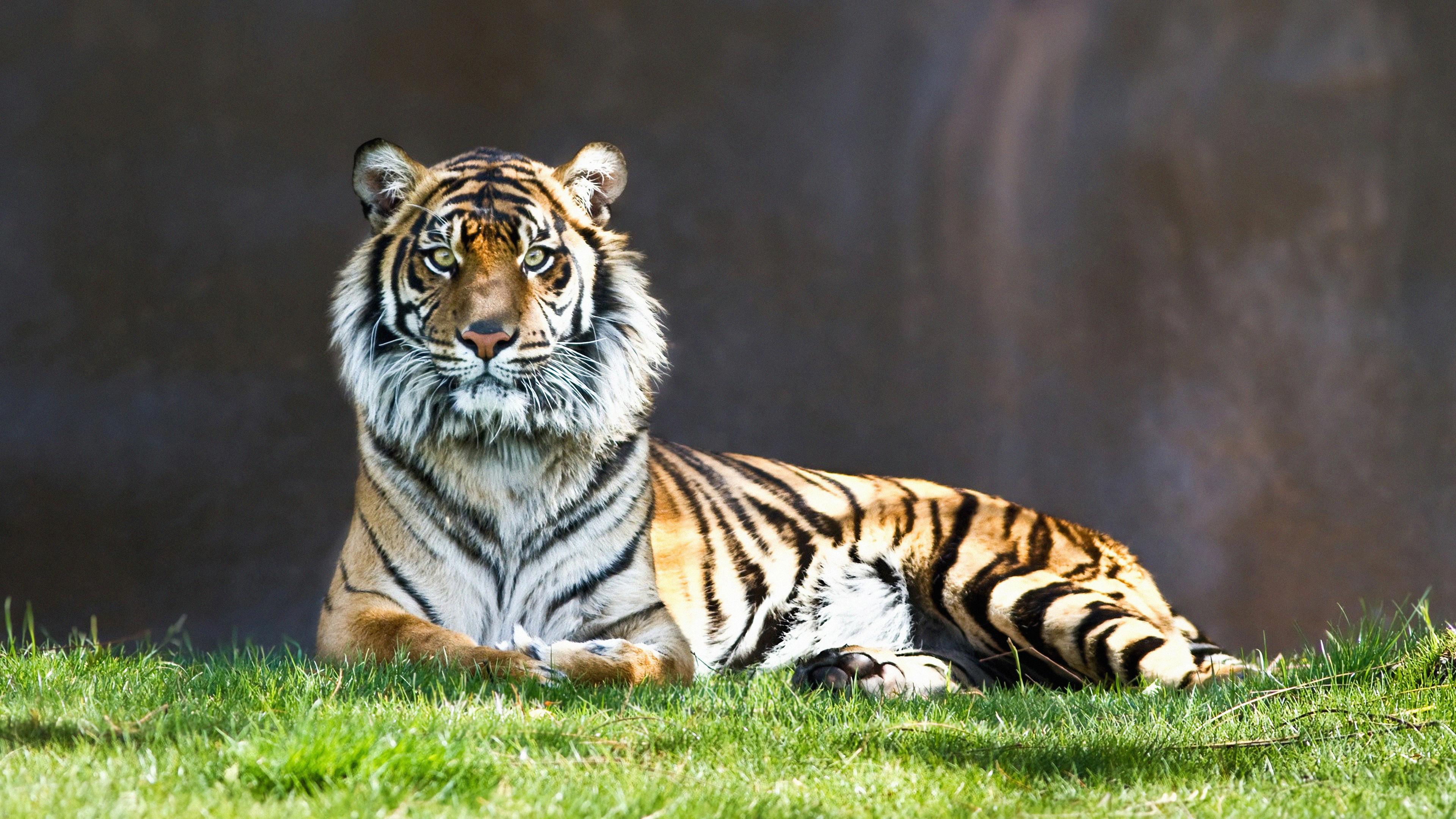 tiger look 1574938124 - Tiger Look -