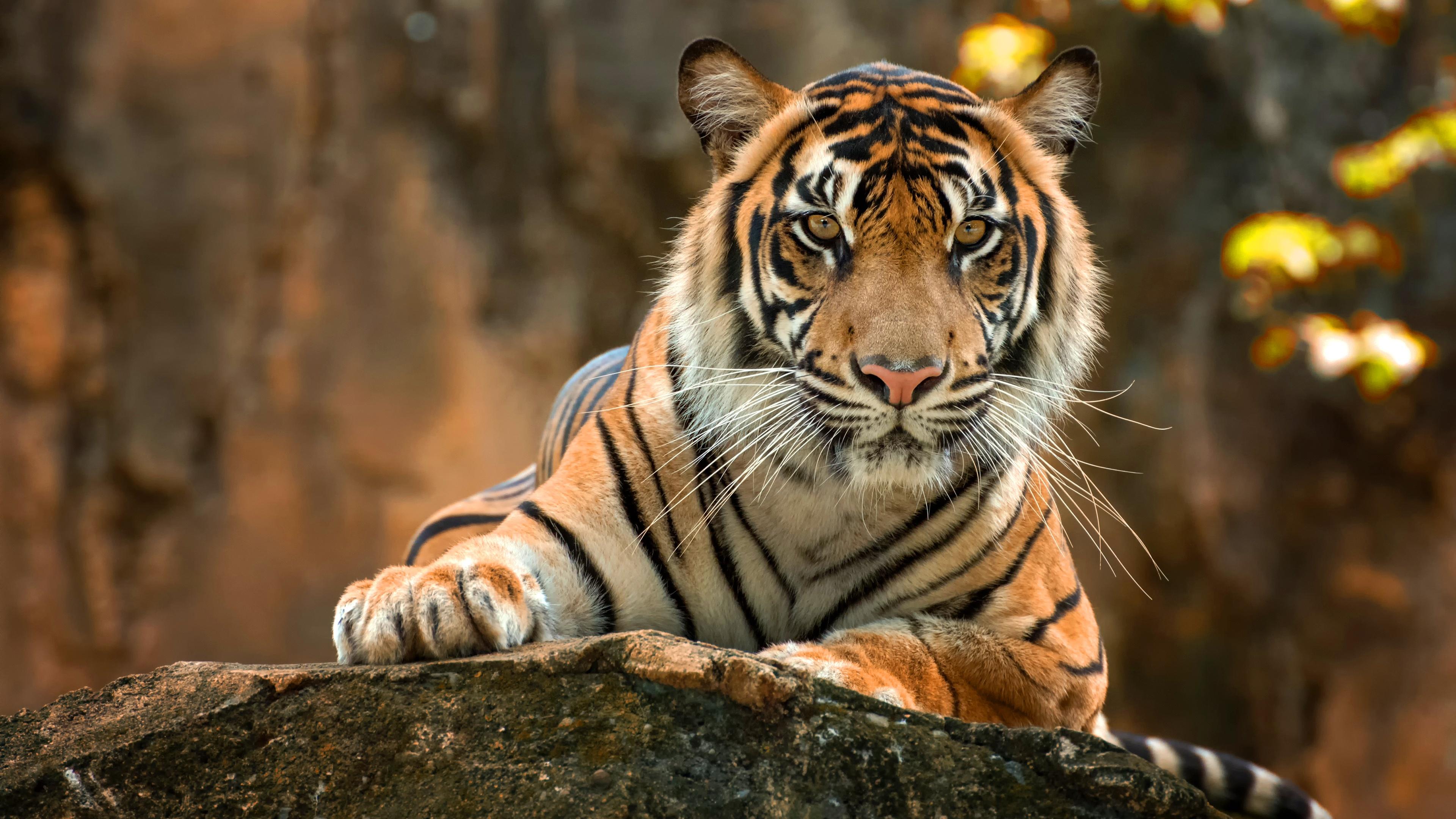 tiger paws 1574938214 - Tiger Paws -