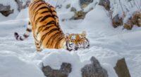 tiger snow 1574939421 200x110 - Tiger Snow -