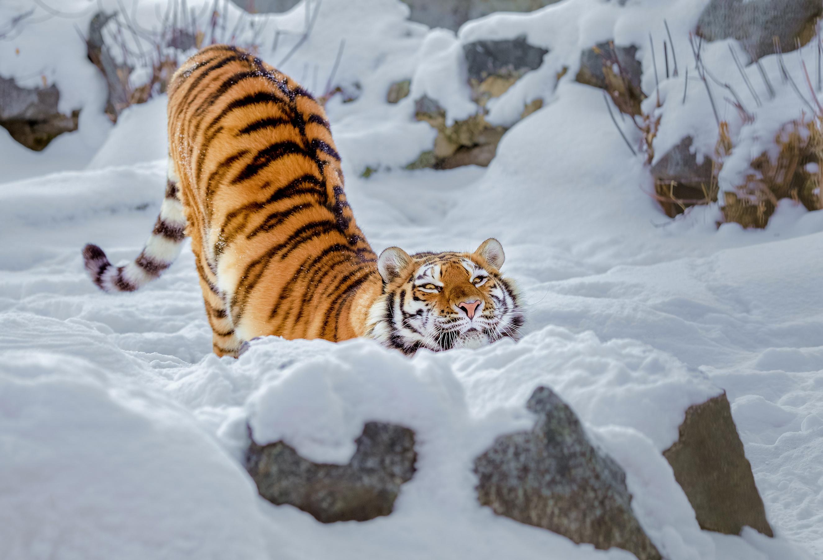 tiger snow 1574939421 - Tiger Snow -