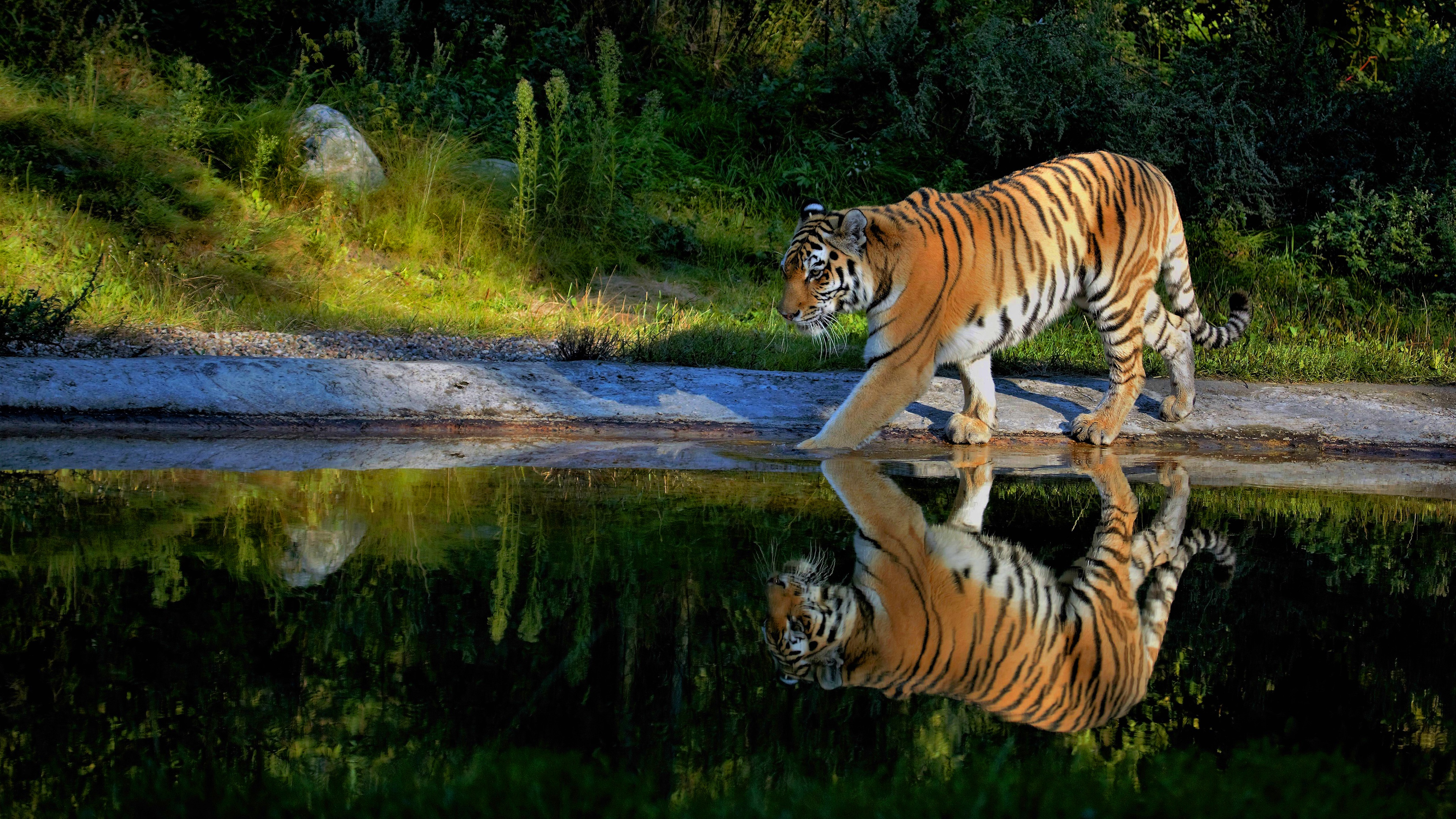 tiger walking on the pond way 1574938065 - Tiger Walking On The Pond Way -
