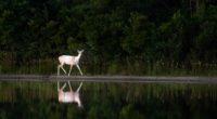 white deer 1574938037 200x110 - White Deer -