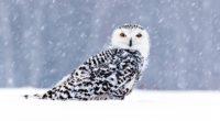 white owl in snow 1574939460 200x110 - White Owl In Snow -