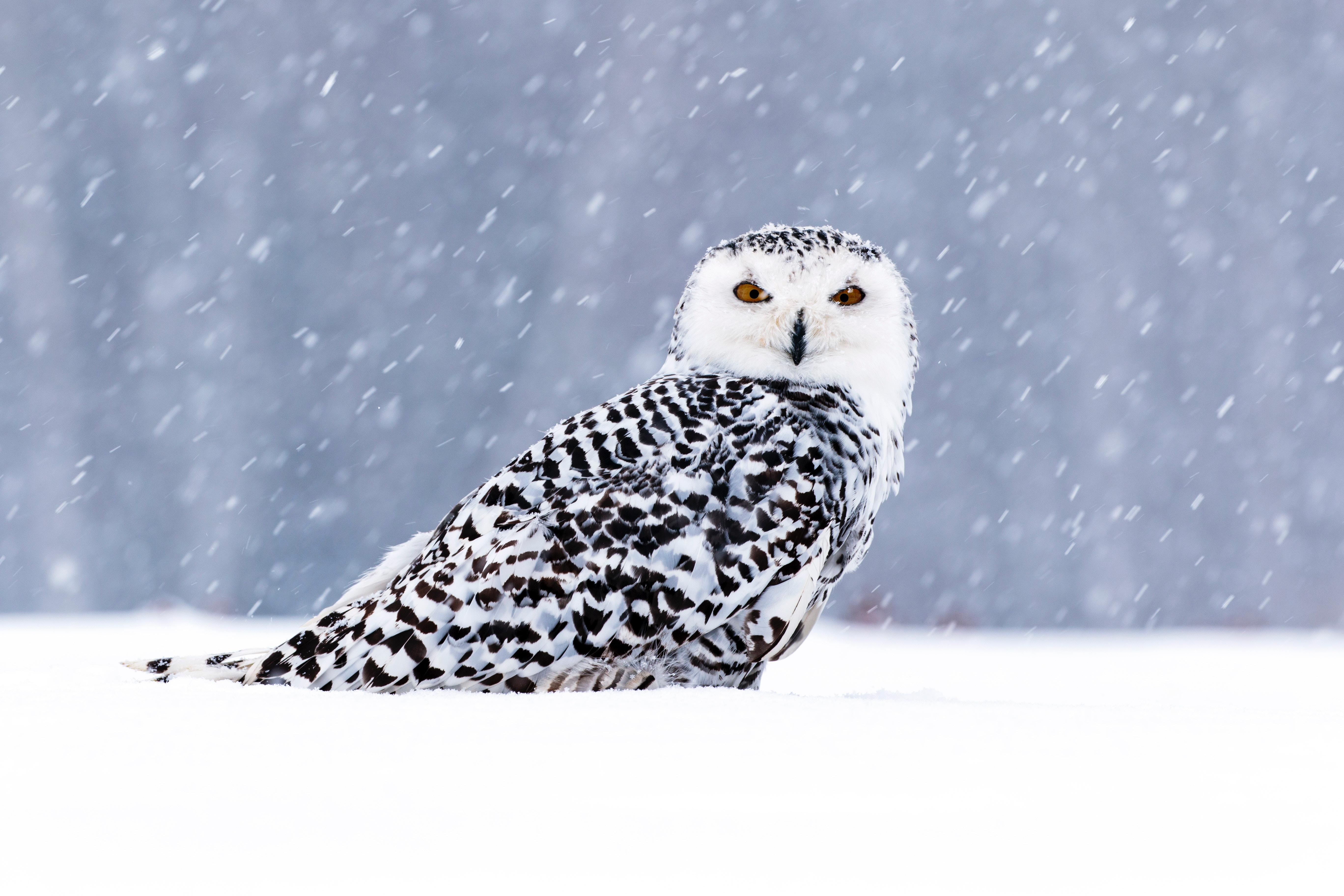 white owl in snow 1574939460 - White Owl In Snow -