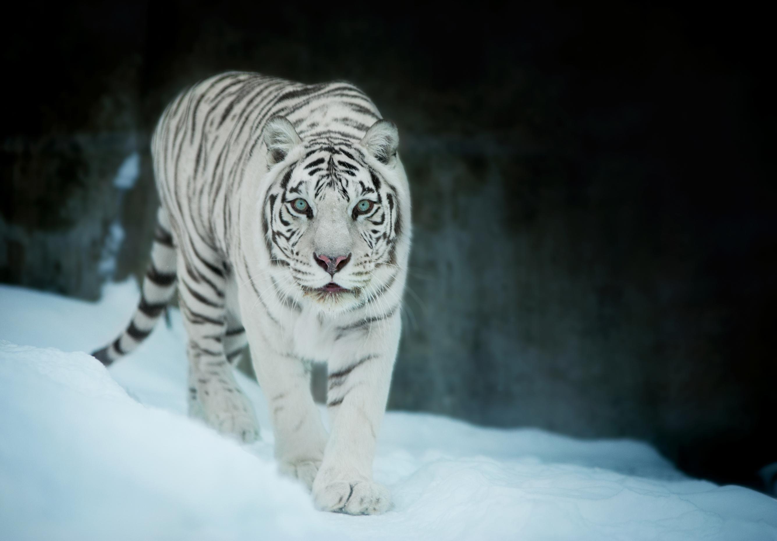 white tiger in snow 1574939437 - White Tiger In Snow -