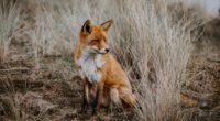 wild fox 1574938066 200x110 - Wild Fox -