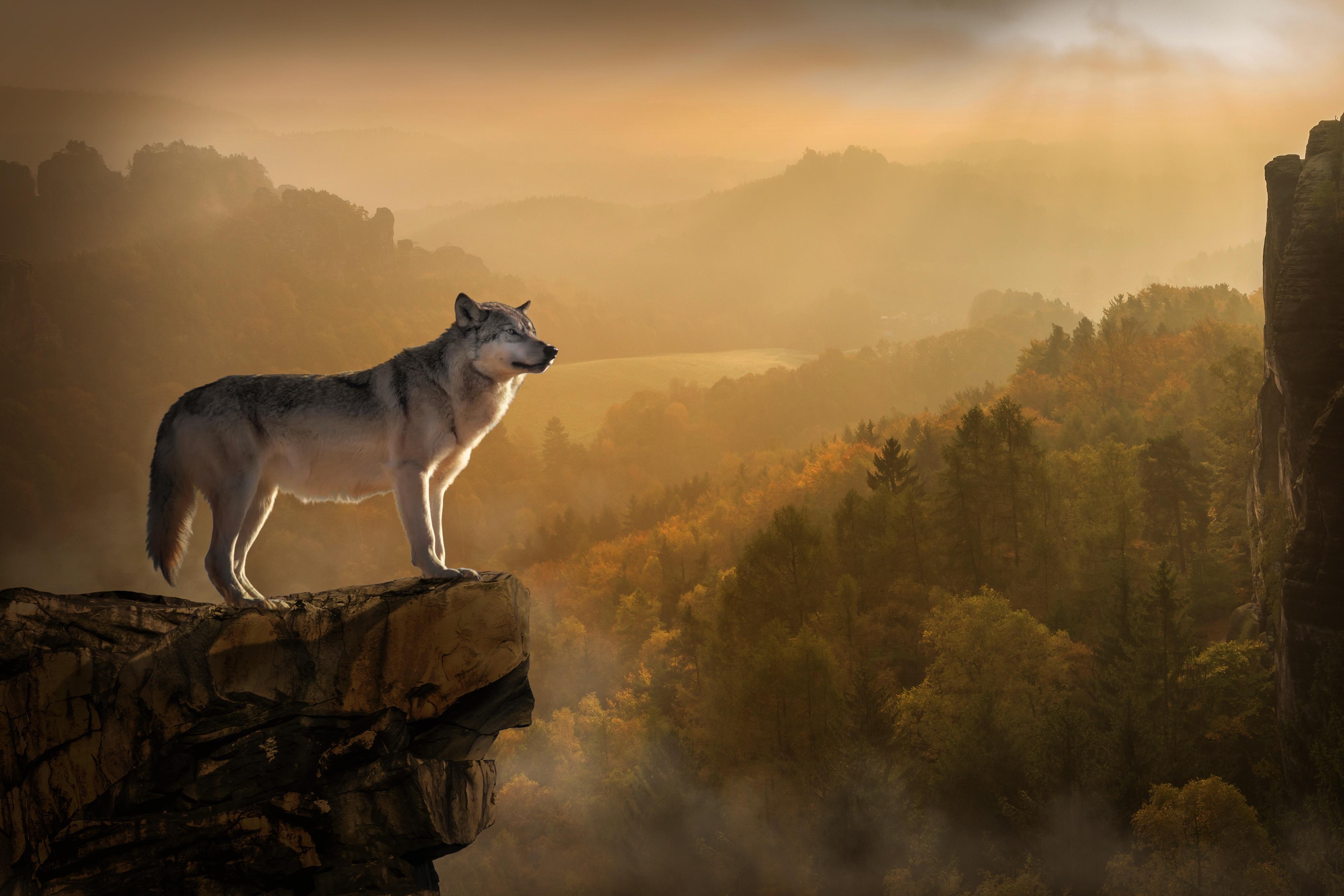 wolf standing on edge 1574938102 - Wolf Standing On Edge -