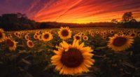 sunflower field 1579380753 200x110 - Sunflower Field - Sunflower Field wallpapers, Sunflower Field landscape wallpapers 4k, Sunflower Field 4k wallpapers
