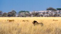 lion field 4k 1602359173 200x110 - Lion Field 4k - Lion Field 4k wallpapers