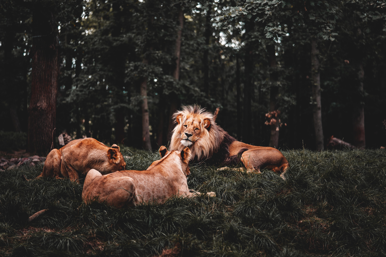 three lions lying down 4k 1602359153 - Three Lions Lying Down 4k - Three Lions Lying Down 4k wallpapers