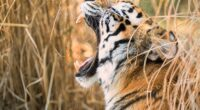 tiger open mouth 4k 1603014805 200x110 - Tiger Open Mouth 4k - Tiger Open Mouth 4k wallpapers