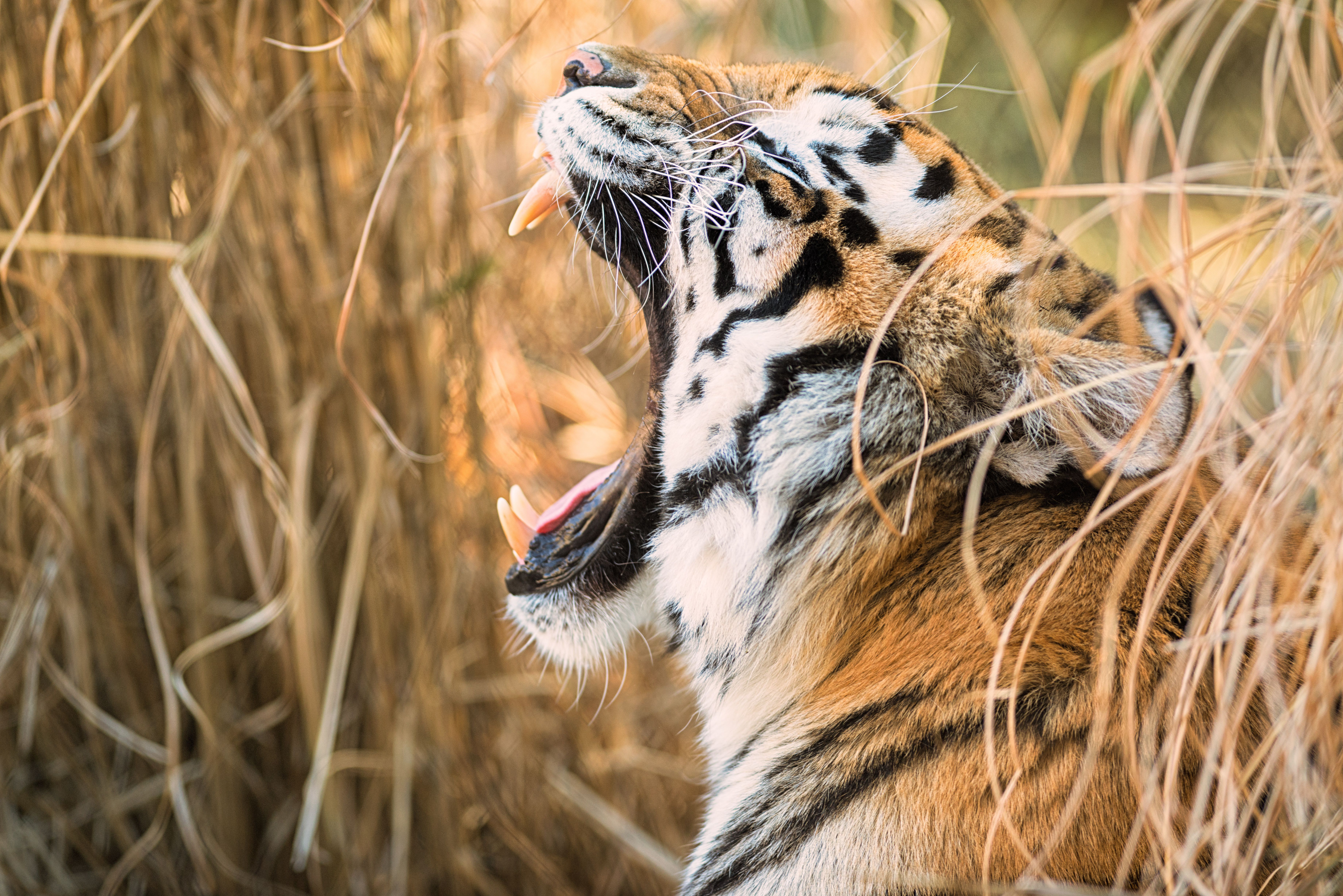 tiger open mouth 4k 1603014805 - Tiger Open Mouth 4k - Tiger Open Mouth 4k wallpapers