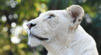 white lion head 4k 1603014870 200x110 - White Lion Head 4k - White Lion Head 4k wallpapers