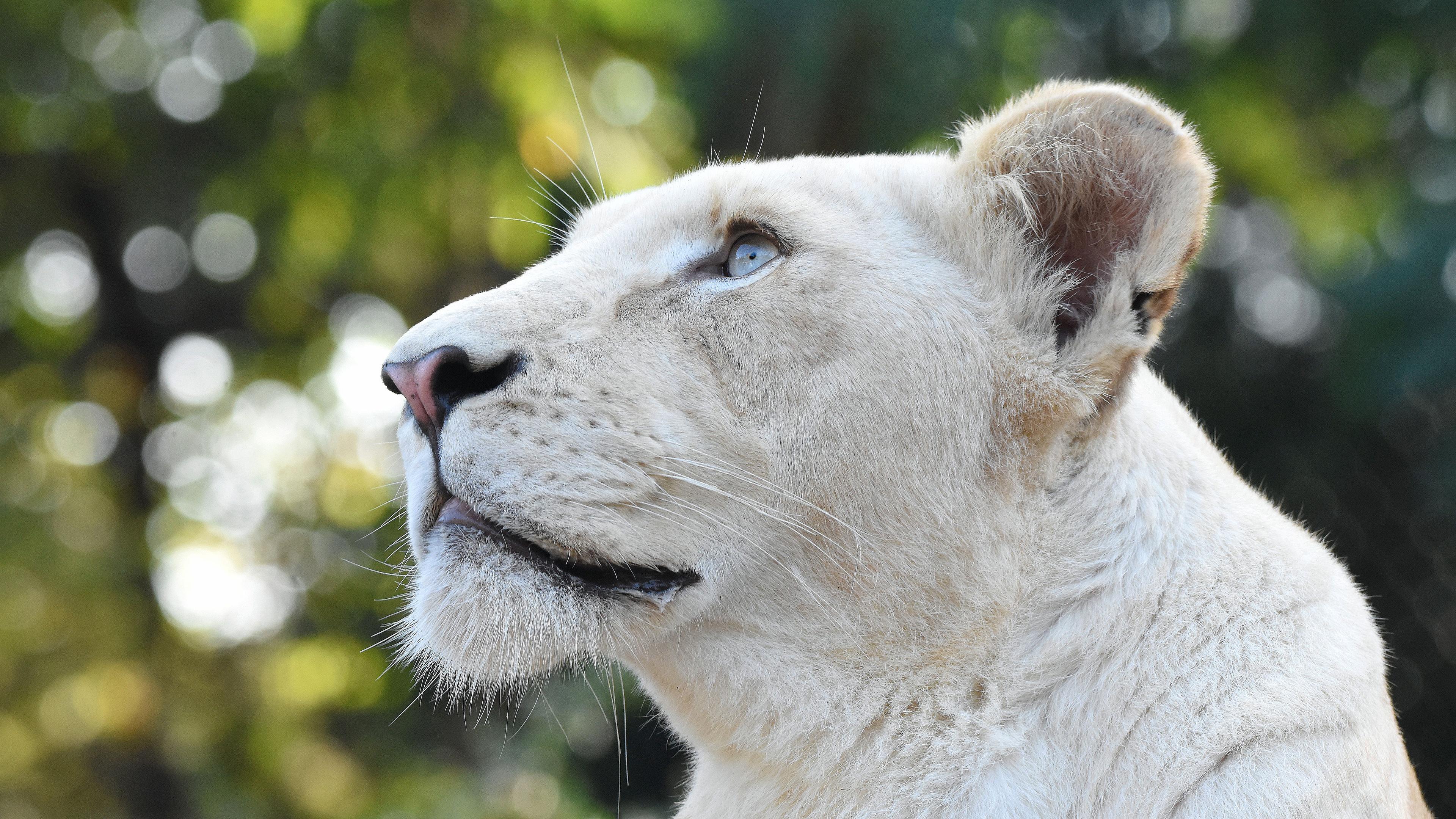 white lion head 4k 1603014870 - White Lion Head 4k - White Lion Head 4k wallpapers