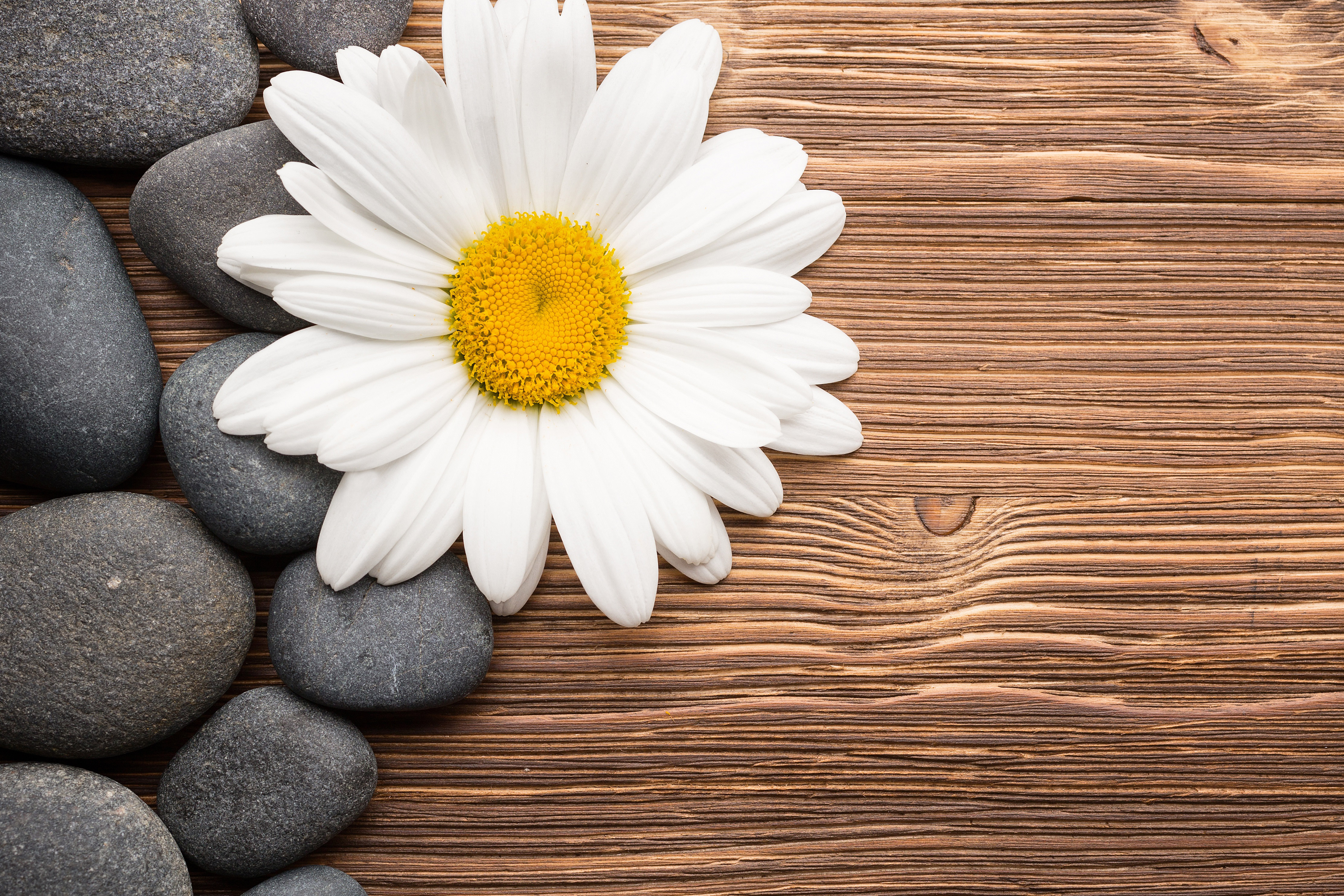 camomiles stones white flower 4k 1606509606 - Camomiles Stones White Flower 4k - Camomiles Stones White Flower 4k wallpapers