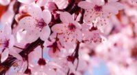cherry bloosoms 4k 1606508449 200x110 - Cherry Bloosoms 4k - Cherry Bloosoms 4k wallpapers