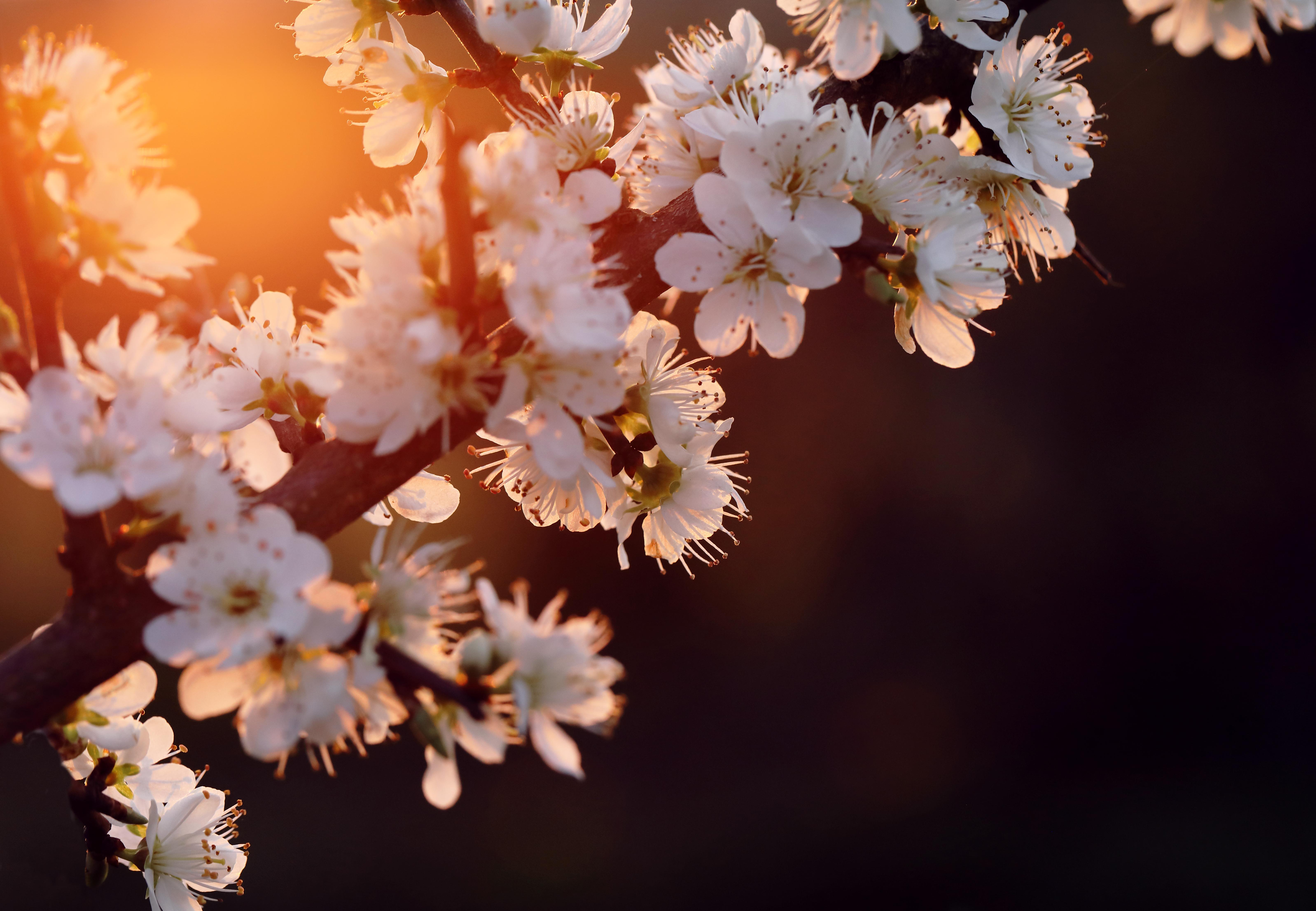 cherry blossom 4k 1606577702 - Cherry Blossom 4k - Cherry Blossom 4k wallpapers