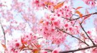 cherry blossom tree branches 4k 1606577835 200x110 - Cherry Blossom Tree Branches 4k - Cherry Blossom Tree Branches 4k wallpapers