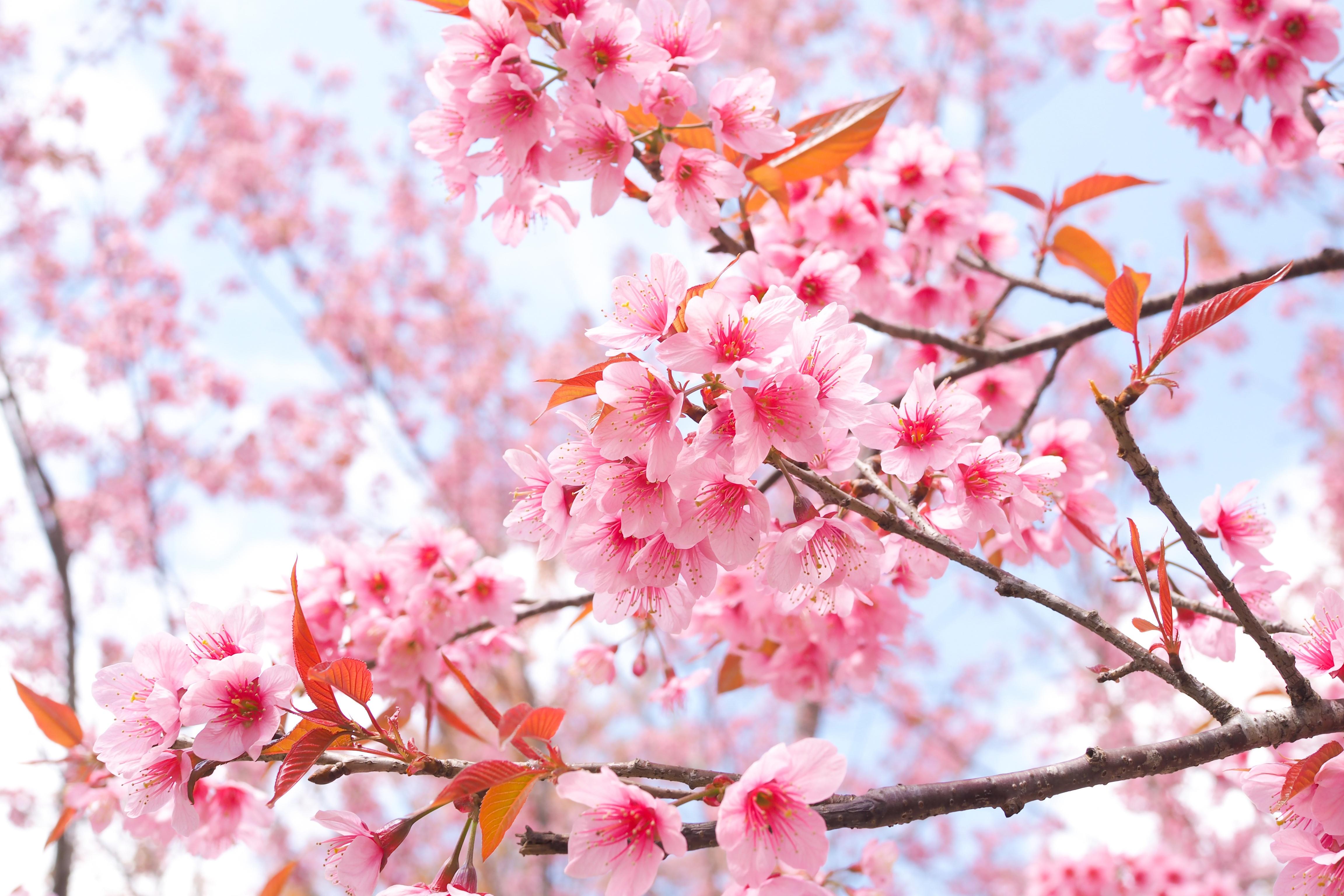 cherry blossom tree branches 4k 1606577835 - Cherry Blossom Tree Branches 4k - Cherry Blossom Tree Branches 4k wallpapers