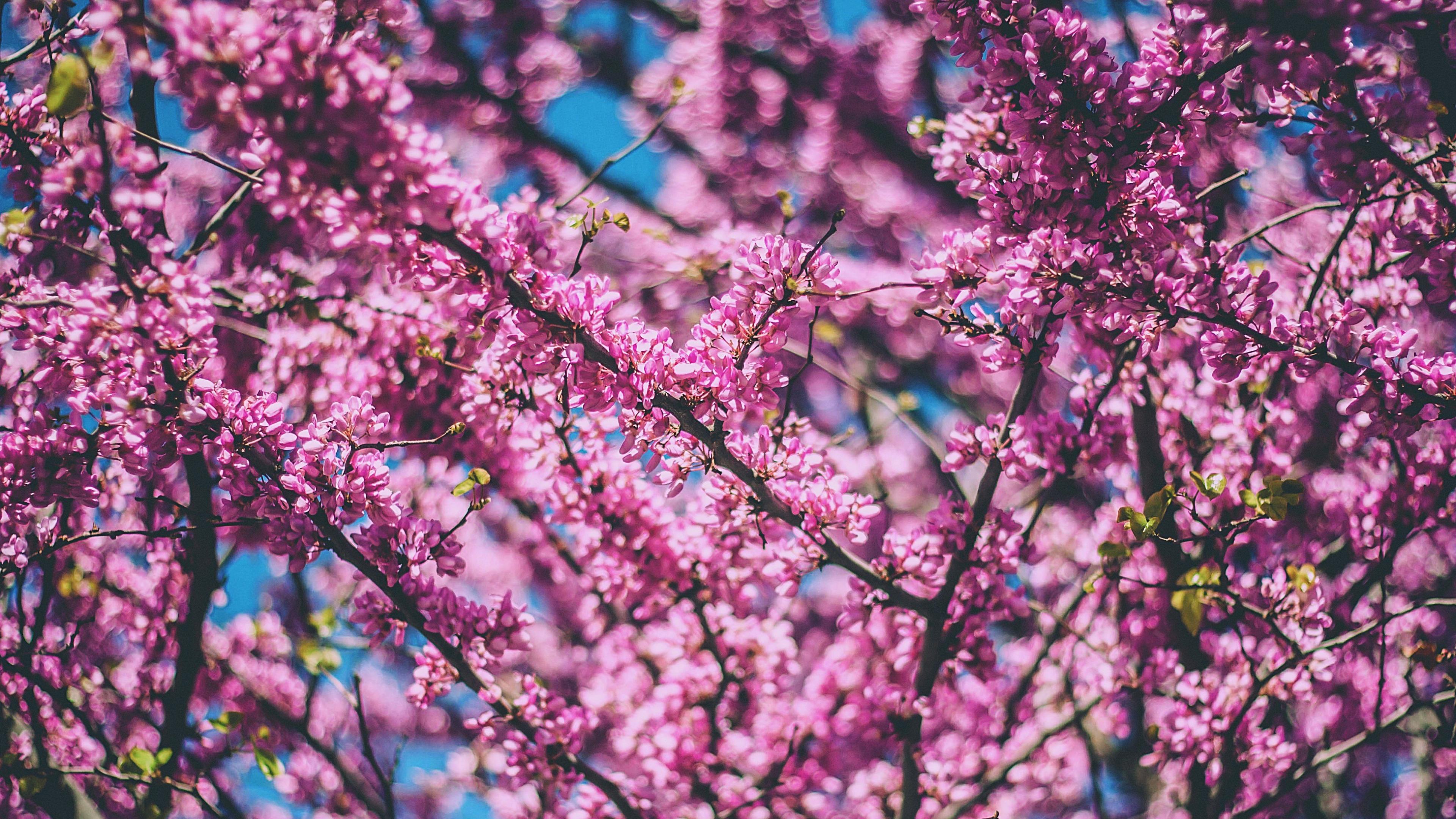 cherry flowers pink 4k 1606508861 - Cherry Flowers Pink 4k - Cherry Flowers Pink 4k wallpapers