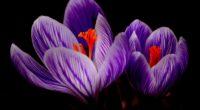 crocus flower 4k 1606510616 200x110 - Crocus Flower 4k - Crocus Flower 4k wallpapers