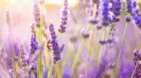 flowers lavender 4k 1606508455 200x110 - Flowers Lavender 4k - Flowers Lavender 4k wallpapers