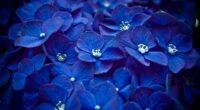 hydrangea blue flower 4k 1606508453 200x110 - Hydrangea Blue Flower 4k - Hydrangea Blue Flower 4k wallpapers
