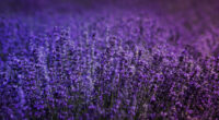 lavender field 4k 1606574950 200x110 - Lavender Field 4k - Lavender Field 4k wallpapers