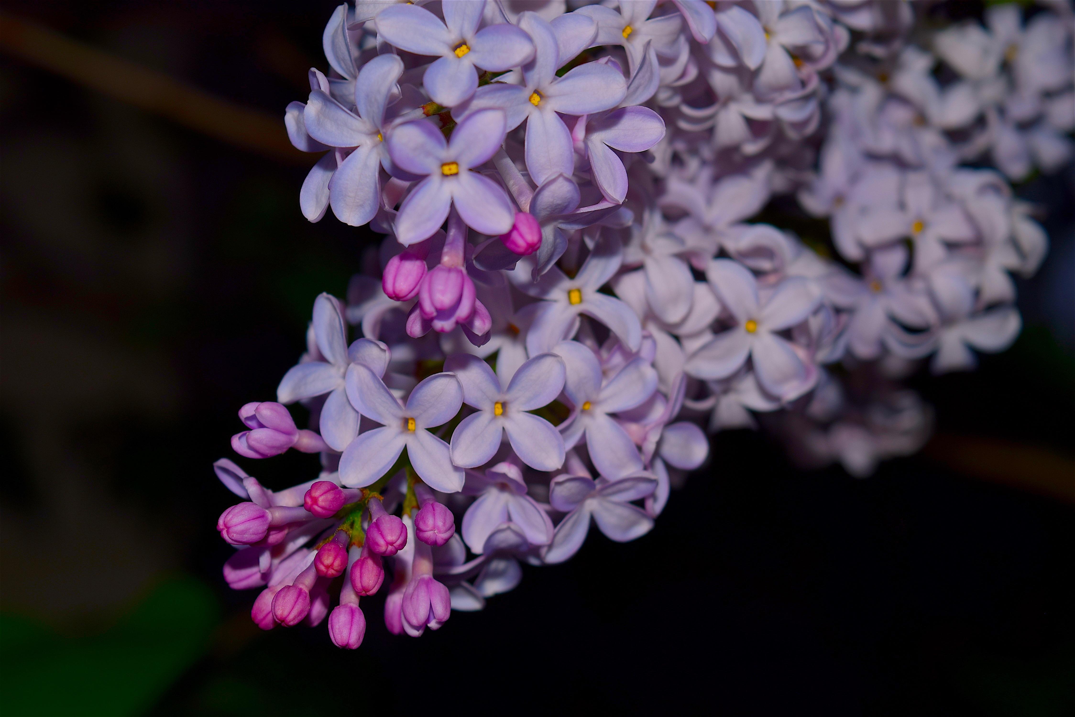 lilac flowers 4k 1606508765 - Lilac Flowers 4k - Lilac Flowers 4k wallpapers