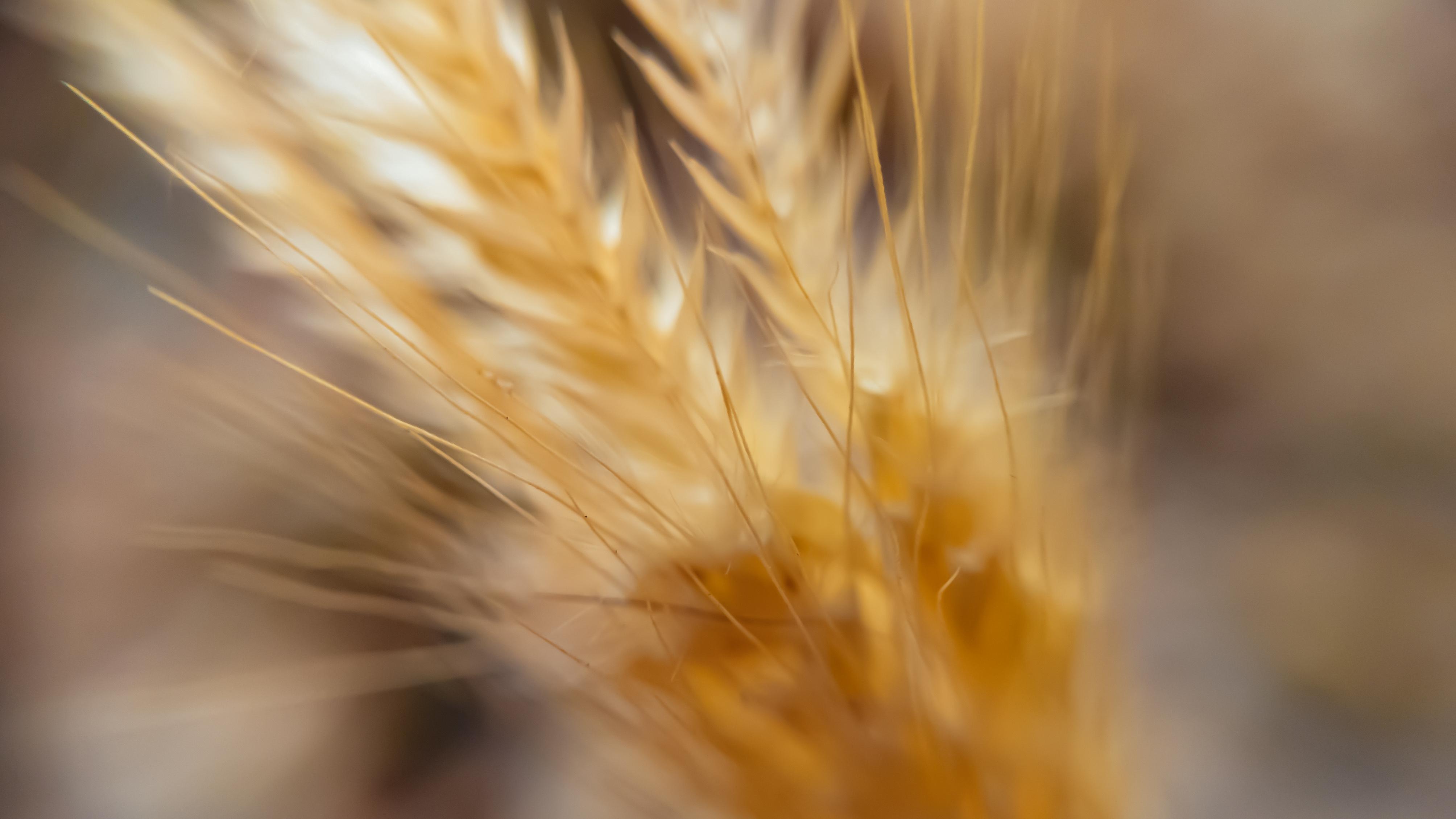 macro wheat 4k 1606575168 - Macro Wheat 4k - Macro Wheat 4k wallpapers