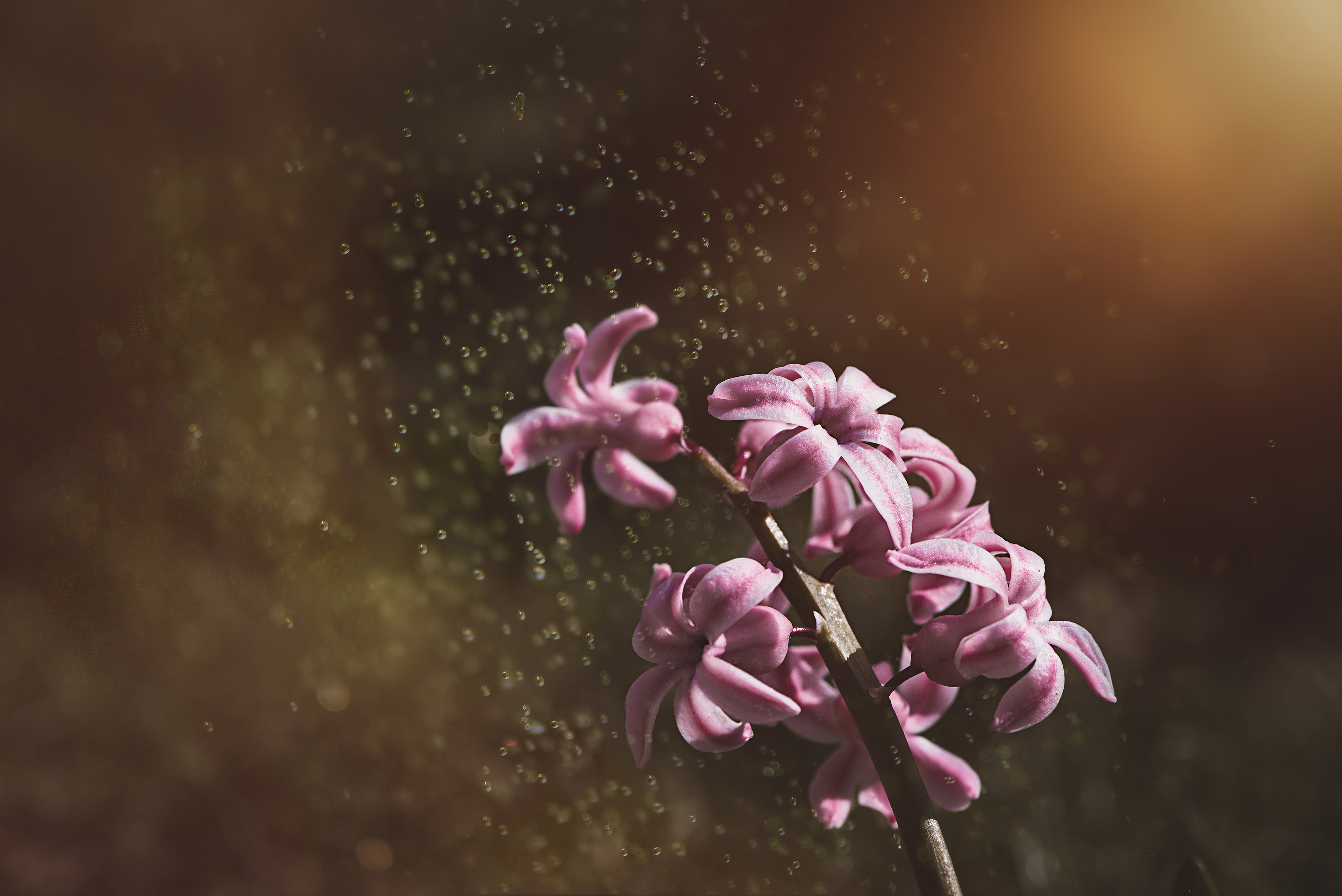 pink color hyacinth flowers 4k 1606577687 1 - Pink Color Hyacinth Flowers 4k - Pink Color Hyacinth Flowers 4k wallpapers