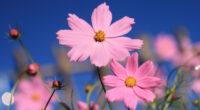 pink cosmos flower 4k 1606508861 200x110 - Pink Cosmos Flower 4k - Pink Cosmos Flower 4k wallpapers