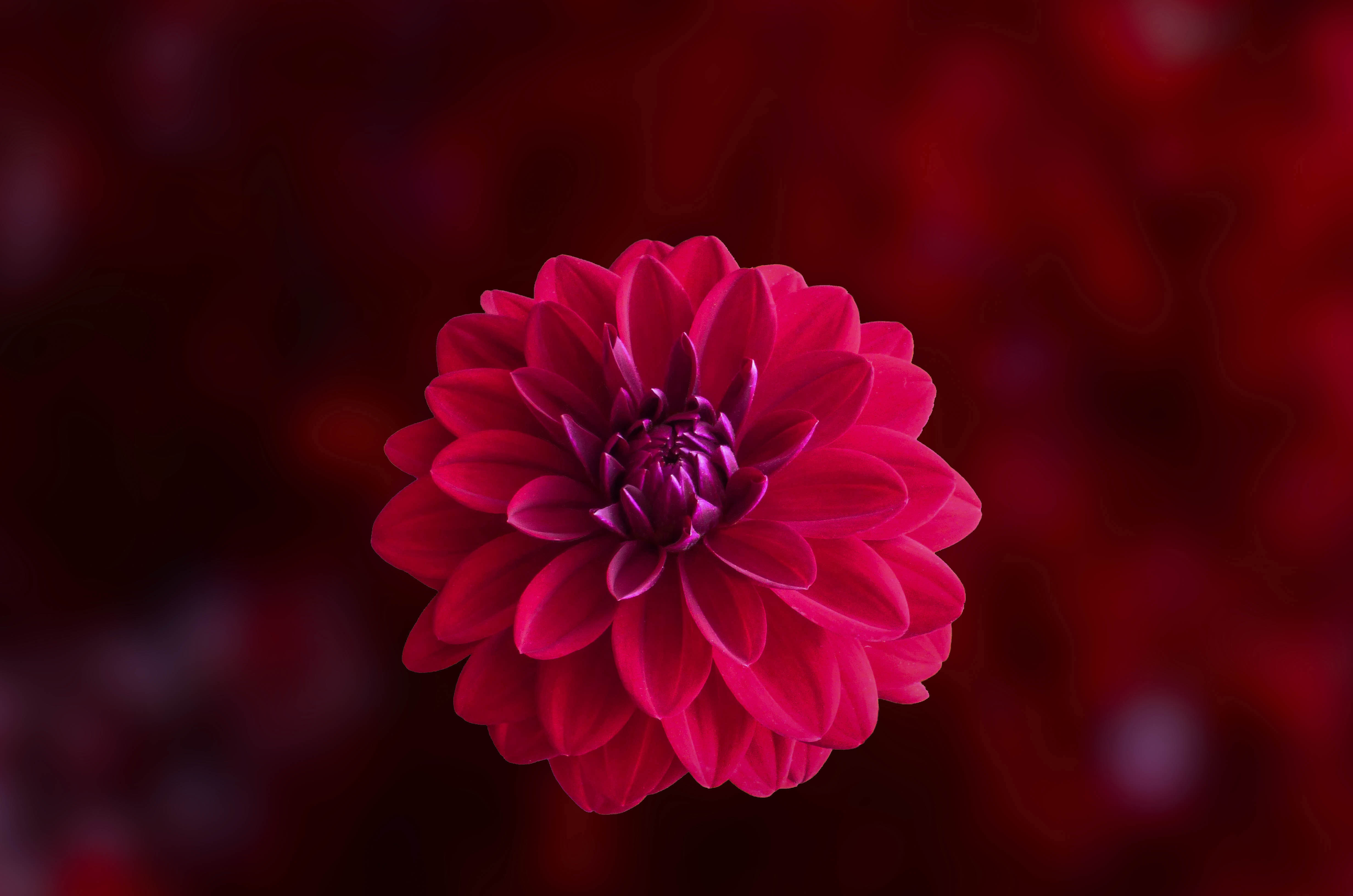 pink dahlia flower 4k 1606512712 - Pink Dahlia Flower 4k - Pink Dahlia Flower 4k wallpapers