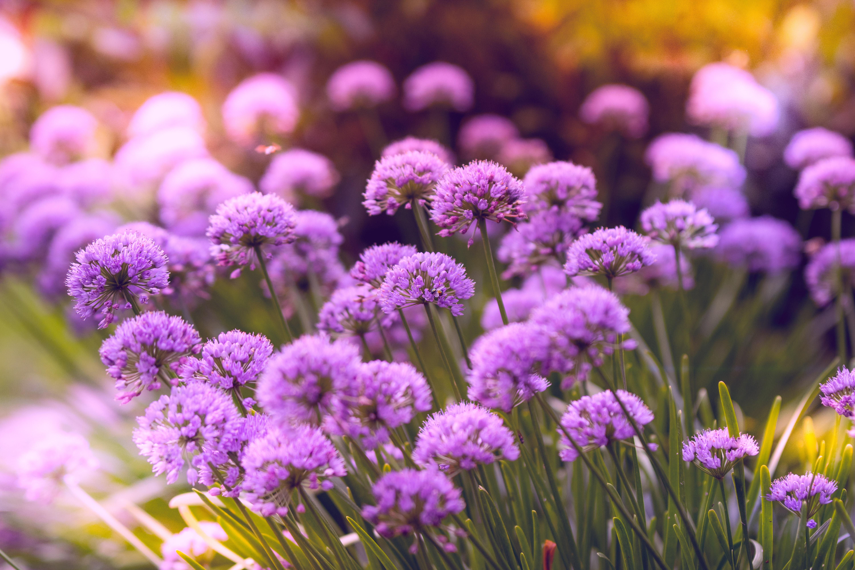 purple flowers 4k 1606575072 - Purple Flowers 4k - Purple Flowers 4k wallpapers