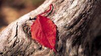red leaf 4k 1606508440 200x110 - Red Leaf 4k - Red Leaf 4k wallpapers