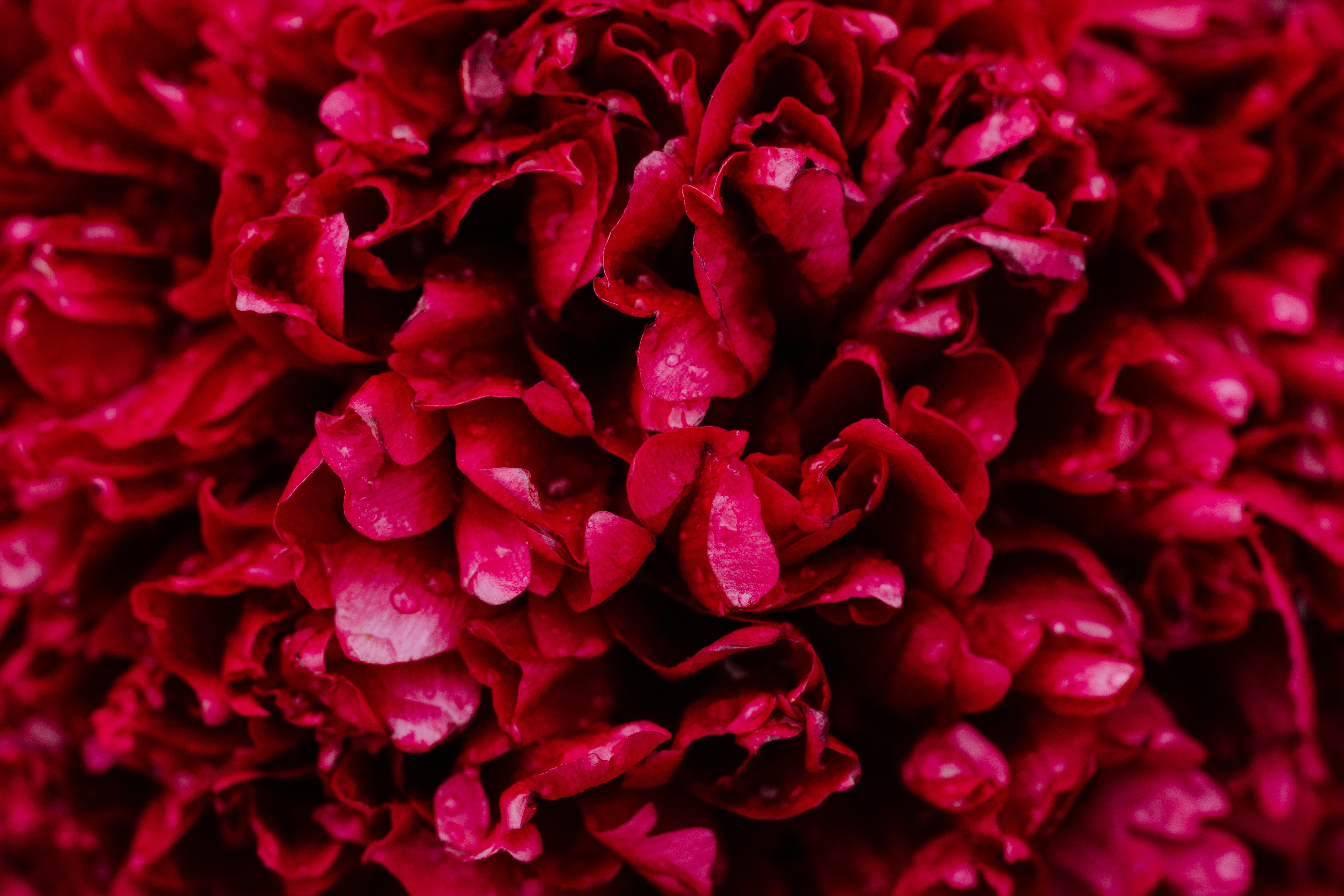 red roses 4k 1606577682 - Red Roses 4k - Red Roses 4k wallpapers