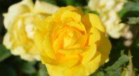 rose bud 4k 1606508463 200x110 - Rose Bud 4k - Rose Bud 4k wallpapers