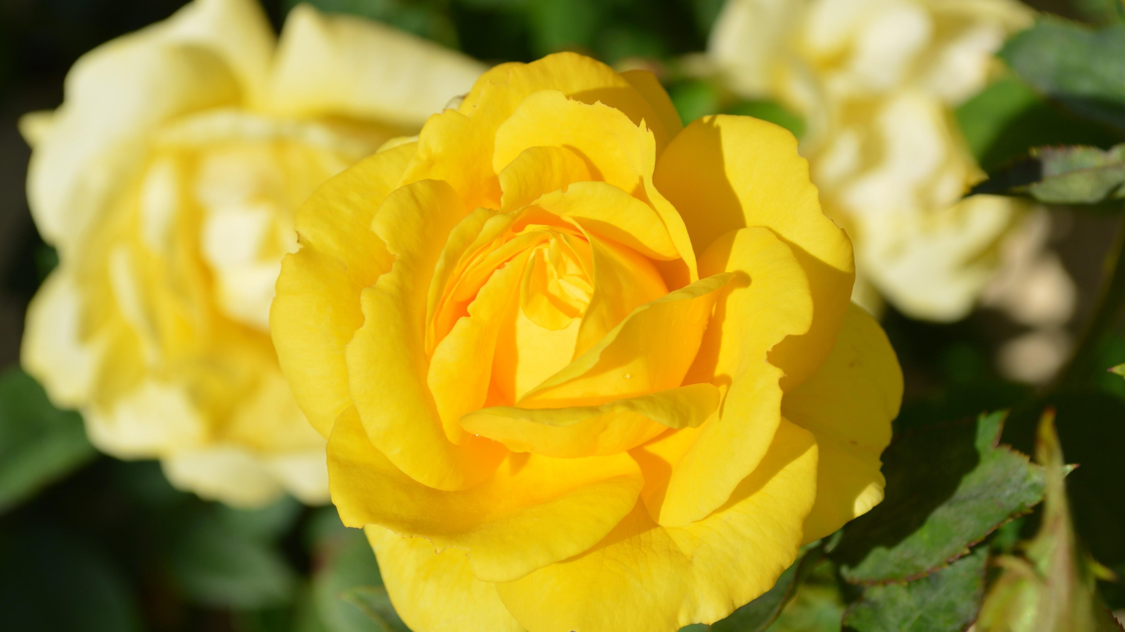 rose bud 4k 1606508463 - Rose Bud 4k - Rose Bud 4k wallpapers