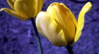 tulip flowers buds 4k 1606508470 200x110 - Tulip Flowers Buds 4k - Tulip Flowers Buds 4k wallpapers