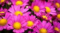 water drops on pink daisies 4k 1606508444 200x110 - Water Drops On Pink Daisies 4k - Water Drops On Pink Daisies 4k wallpapers