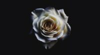 white rose oled 4k 1606513818 200x110 - White Rose Oled 4k - White Rose Oled 4k wallpapers