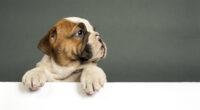 bulldog puppy 4k 1615884685 200x110 - Bulldog Puppy 4k - Bulldog Puppy 4k wallpapers